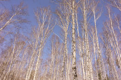 Winter Birch Wood Stock Images