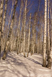 Winter Birch Wood Royalty Free Stock Image