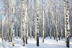 Winter birch wood in sunlight Royalty Free Stock Image