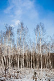 Winter birch woods Stock Photography