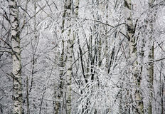 Winter birches Royalty Free Stock Photo