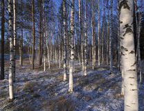 Winter birches. A group of birches with some snow on the ground royalty free stock photos