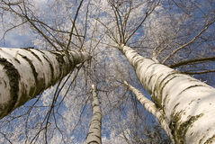 Winter birches in white rime Royalty Free Stock Image
