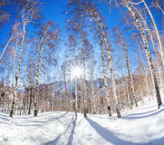 Winter birchwood Stock Photo