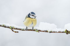 Winter bird Royalty Free Stock Image