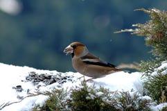 Winter bird. Eating sunflower seeds Stock Images