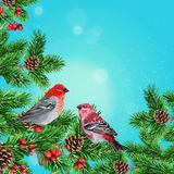 Winter bird, fir branch and rowan Royalty Free Stock Photography