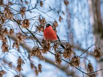 Winter bird holding food in its beak royalty free stock images