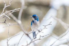 Winter bird photography - blue bird on snow covered bush tree Stock Image