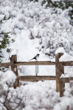 Winter bird photography - magpie on snow fence Royalty Free Stock Photo