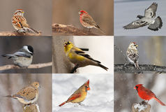 Winter birds Royalty Free Stock Image