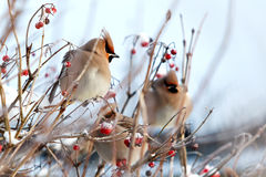 Winter birds. And red berries Royalty Free Stock Photos