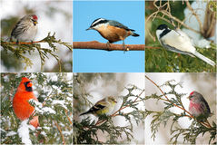 Winter birds collage. Stock Photos