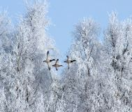 Winter, Birds, Geese, Snow, Ice Royalty Free Stock Photography