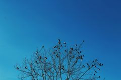Winter birds. Huge amount of little birds sitting and catching warmness from winter sun on bare tree with cold bright heaven at background Royalty Free Stock Photography