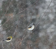 Winter birds with snow. Tree with birds and snow royalty free stock photo