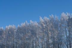 Winter Birhes Stockbild