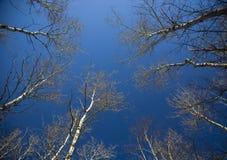 Winter-Birken-Kabinendach in blauen Himmel Stockfotografie