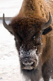 Winter is bison Stock Images