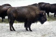 Winter bison buffalo Royalty Free Stock Image