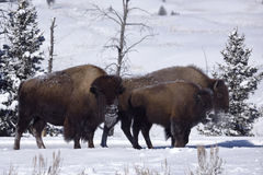 Winter Bison Royalty Free Stock Images