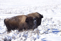 Winter Bison Stock Photos