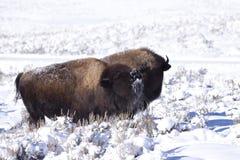 Winter Bison Stock Photos