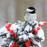 Winter Black- capped Chickadee Stock Images