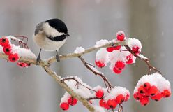 Winter Black- capped Chickadee (Poecile atricapillus) Stock Images