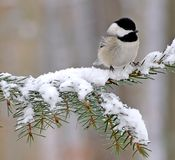Winter Black- capped Chickadee Royalty Free Stock Images