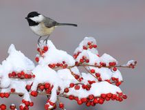 Winter Black- capped Chickadee (Poecile atricapillus) Stock Photography