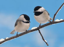 Winter Black- capped Chickadees Royalty Free Stock Photography