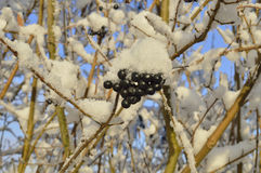 Winter. Black fruit on the branches dusted with snow Stock Photo