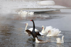 Winter. Black and white swans swimming in a pond. Royalty Free Stock Photos