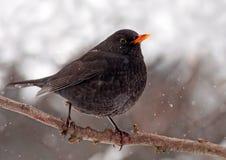 Winter blackbird Royalty Free Stock Photography