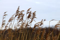 Winter blades of grass swaying in the wind Stock Photography