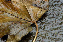 Winter-Blatt Stockbild