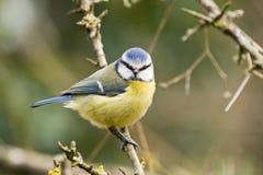 Winter blauer Tit Lizenzfreie Stockbilder