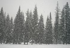 Winter Blizzard in Forest Stock Images