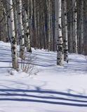 Winter: bloße Espen im Schneefeld Stockfotografie