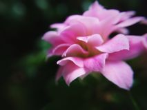 Winter bloom in pink. A pink flower blossoming during winter on an indoor plant Stock Photos