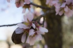 Winter blossom of the almond tree royalty free stock photography