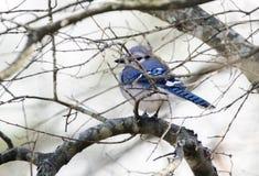 Winter Blue Jay perched on tree, Georgia, USA. Blue Jay, Cyanocitta cristata, perched on bare winter tree in sticks. Walton County, Georgia, USA royalty free stock photography