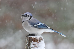 Winter Blue Jay in a Snow Storm royalty free stock photography