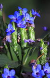 Winter Blue Sage Flower Stock Photography