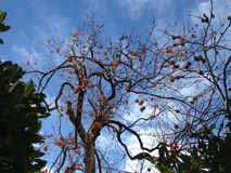Khaki tree, with fruits. Winter with blue sky i a persimmon tree with its tasty fruits stock photos