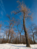 Winter blue sky in a wood. Winter blue sky and trees in snow wood Stock Photo