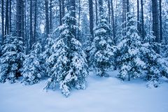 Winter blue snow covered forest. Snow covered evergreen trees with tall trees of the forest beyond stock images