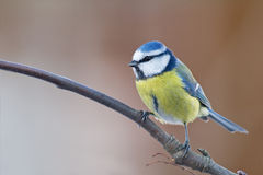 Winter blue tit Stock Photos