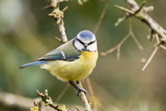 Winter blue tit. Blue tit looking at me taking his picture Royalty Free Stock Images